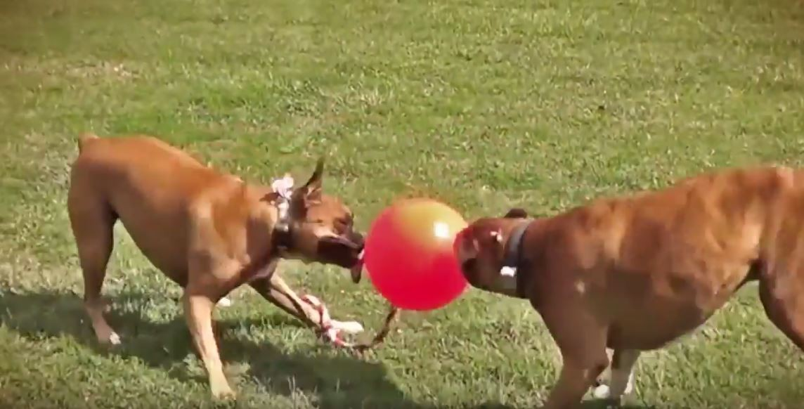 Tretroller u dogscooter aus münchen tuggo ball das